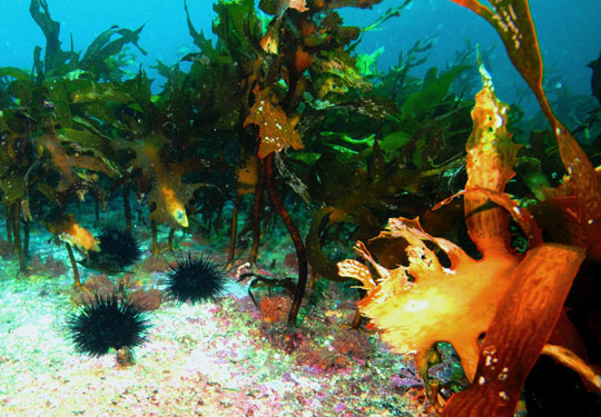 Long-spined sea urchins nest in a depleted kelp bed