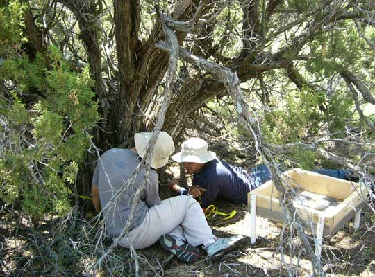 Researchers take tree measurements and collect samples in New Mexico