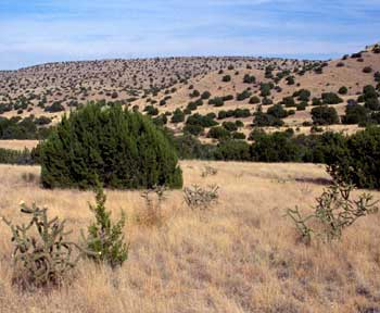 Photograph of a juniper-covered savanna in New Mexico
