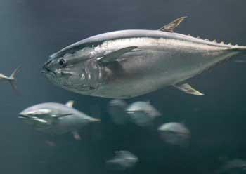 Photograph of Pacific Bluefin tuna