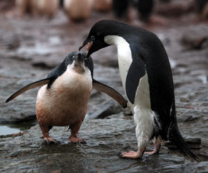 Photograph of an Adelie penguin regurgitating krill to feed its chick