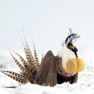 Photograph of a Gunnison sage-grouse