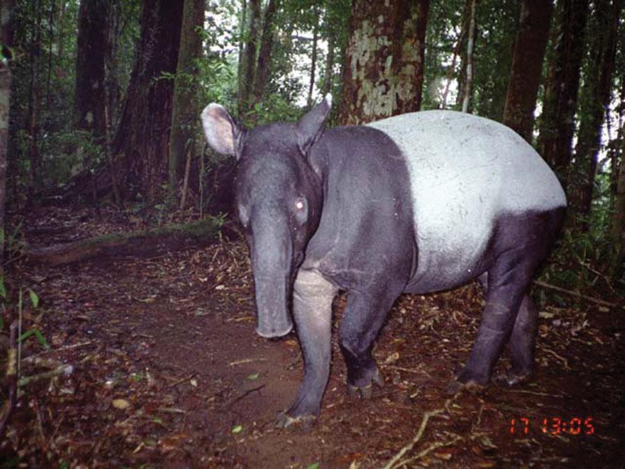Camera trap photograph of a Malayan tapir