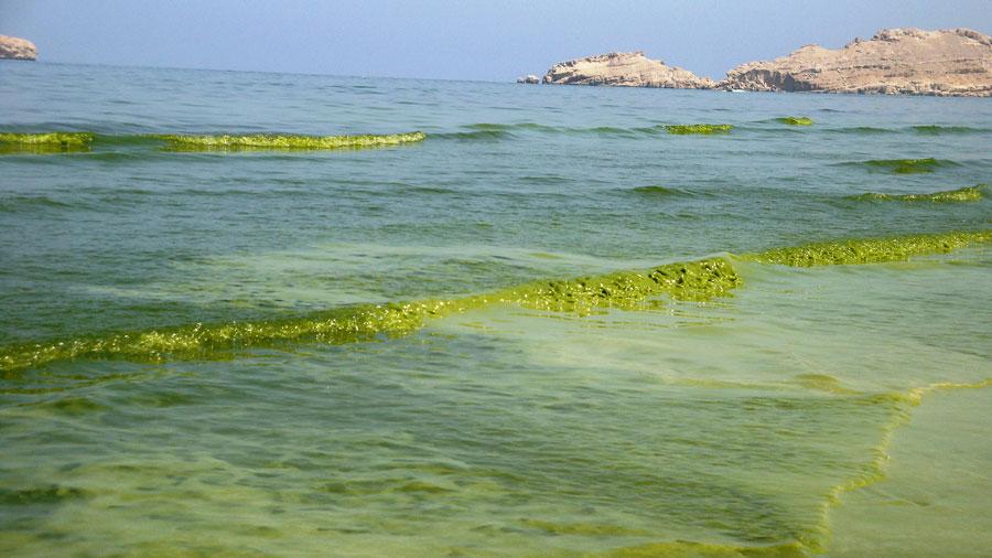Photograph of plankton-filled seawater that looks like green slush