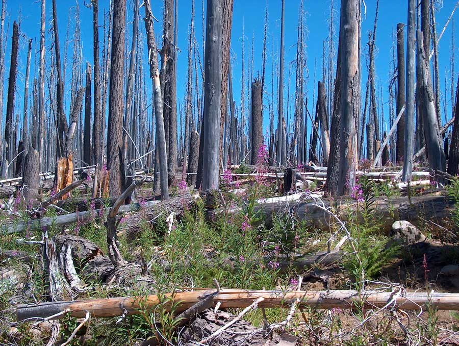 Photograph of snags, or dead trees left standing after a forest fire