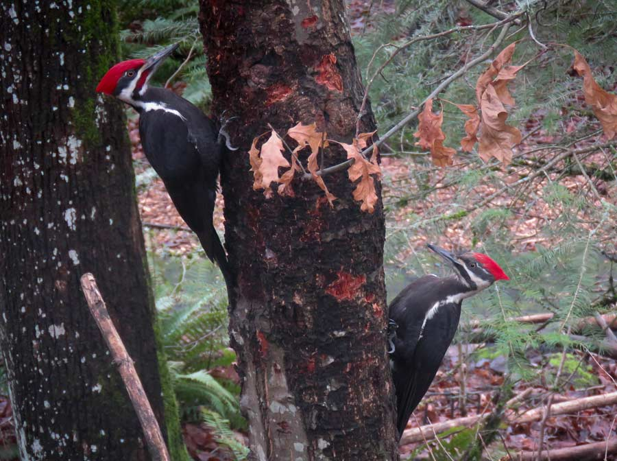 Photograph of pileated woodpeckers