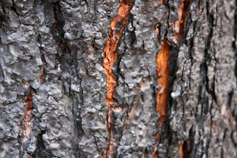 Close-up photograph of cambium, a tree's delicate living tissue beneath the bark