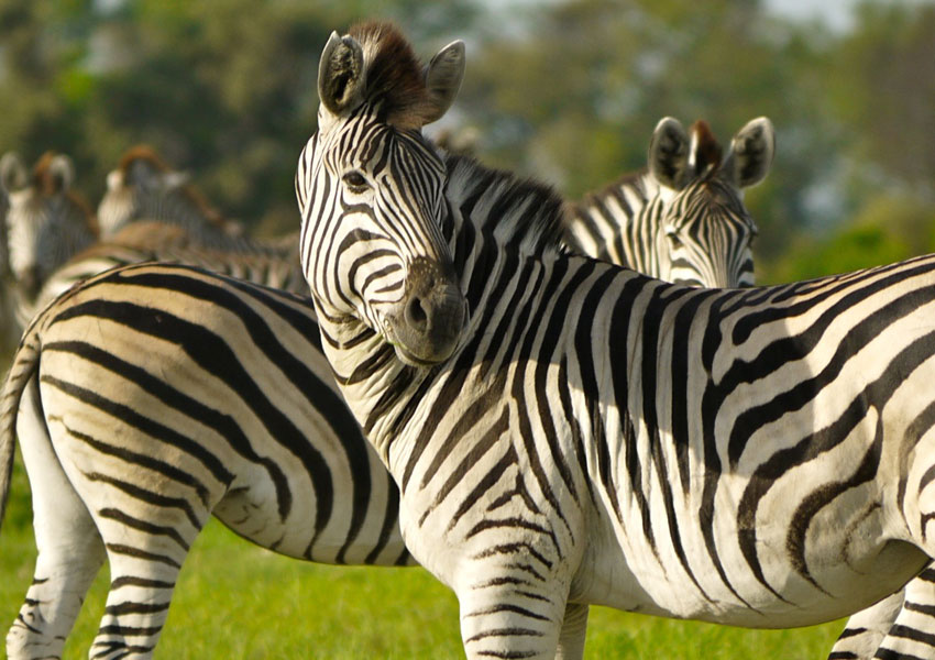 Photograph of zebras, showing stripe differences