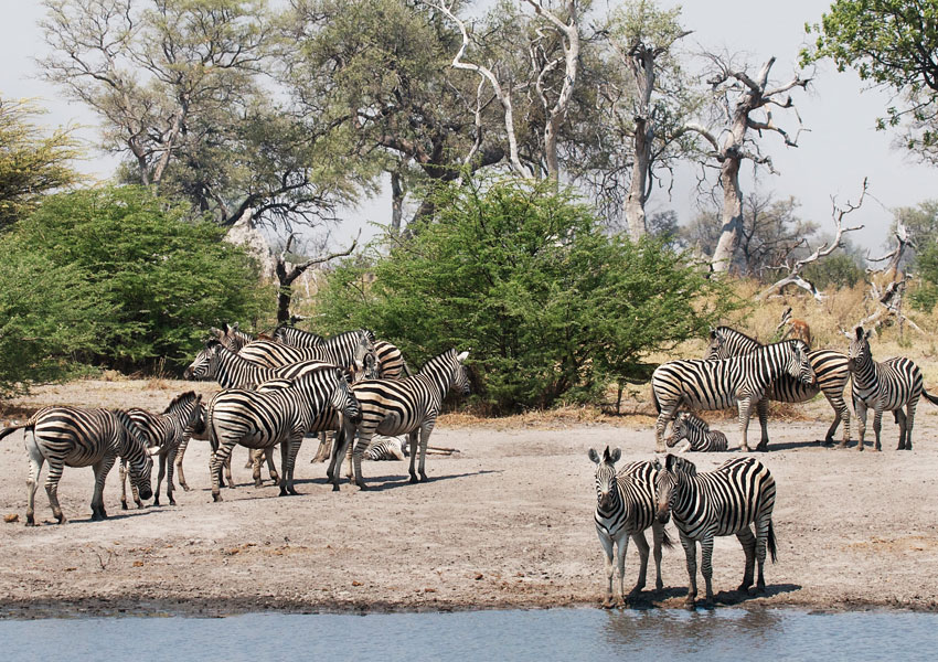Botswana is home to the second largest zebra migration, following the Serengeti. About 25,000 zebra journey the 150 miles between the Okavango Delta and the Makgadikgadi Pan. Zebra perform an important ecological function as grazers, eating the longer strands of grass that then expose shorter growth, allowing wildebeest easier access to their source of food. (Courtesy R. Toller)