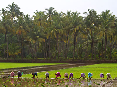Photograph of a rice paddy in Southeast Asia