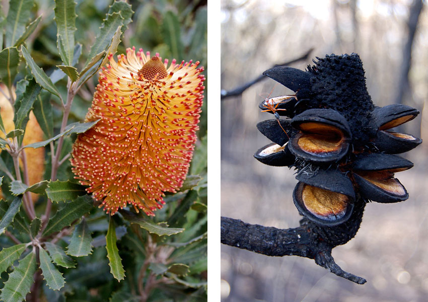 Comparison photographs of Banksia media, before and after a wildfire